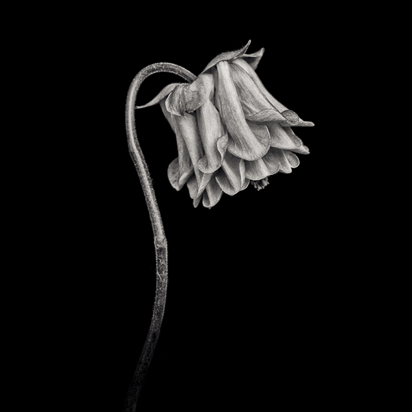 PTL026 Pink Columbine I. Limited edition photographic print by Paul Coghlin