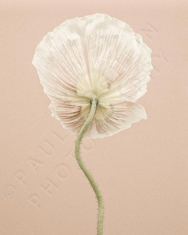 CF_032, Icelandic Poppy III PORTRAIT (D8E4034) © Paul Coghlin 2014,  (social media).jpg