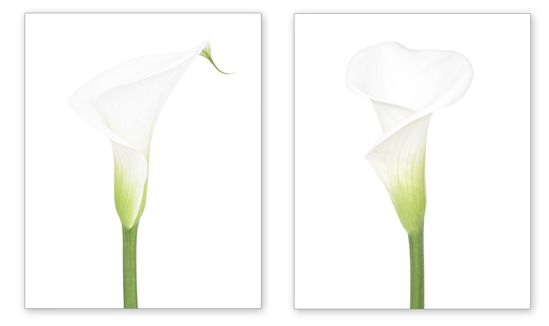 Arum Lily (Z. aethiopica) on White I  and  II  . Botanical studies by fine art photographer Paul Coghlin