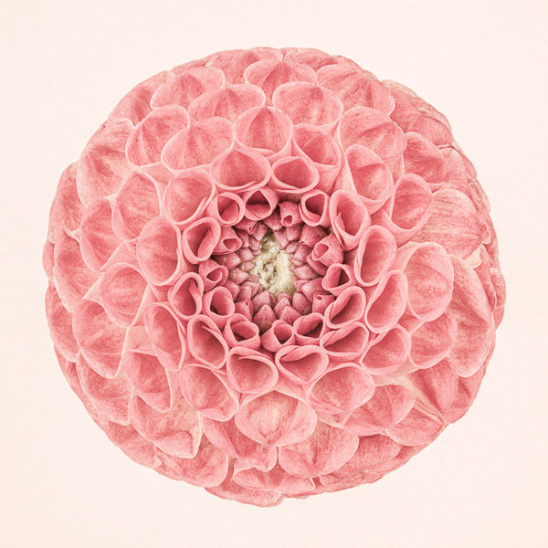 CF52 Pink Dahlia Circle II_600px, web, large_© Paul J Coghlin.jpg