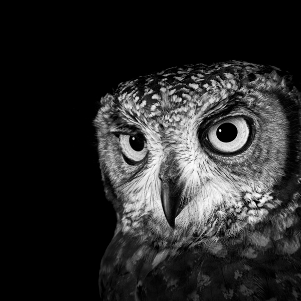 RPTR_010 African Spotted Owl Looking Out by fine art photographer Paul Coghlin. Limited edition photographic prints of an African Spotted Owl..