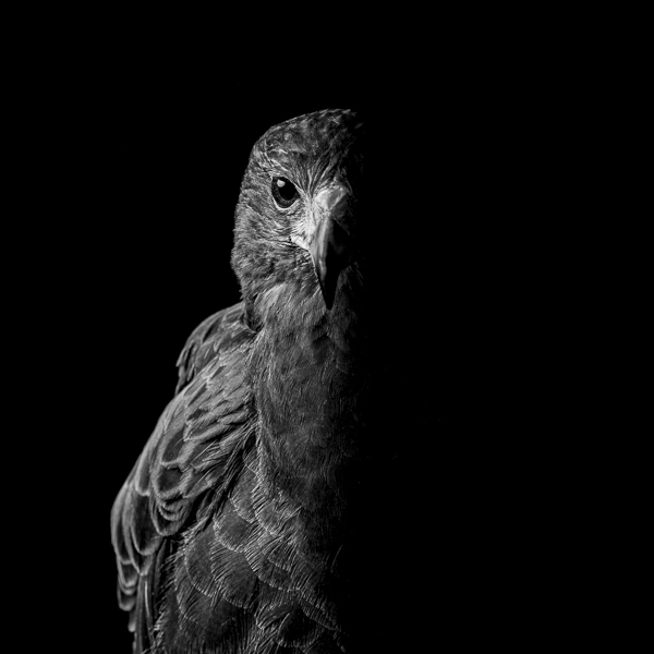 RPTR_007  Harris Hawk in Half Shadow  by fine art photographer Paul Coghlin. Black and white, limited edition photographic prints of a Harris Hawk.