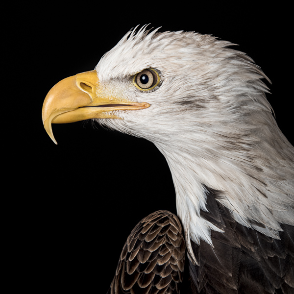 RPTR_009  Profile of a Bald Eagle  by fine art photographer Paul Coghlin. colour, limited edition photographic prints of a bald eagle, which are part of the Raptor series of bird portraits.