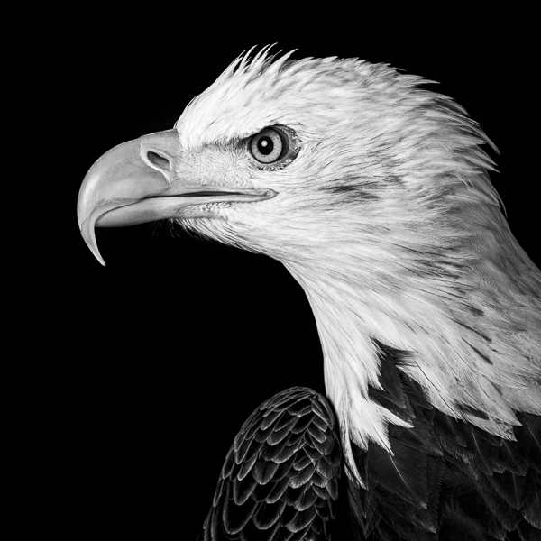 RPTR_008  Profile of a Bald Eagle (monochrome)  by fine art photographer Paul Coghlin. Black and white, limited edition photographic prints of a bald eagle, which are part of the Raptor series of bird portraits.
