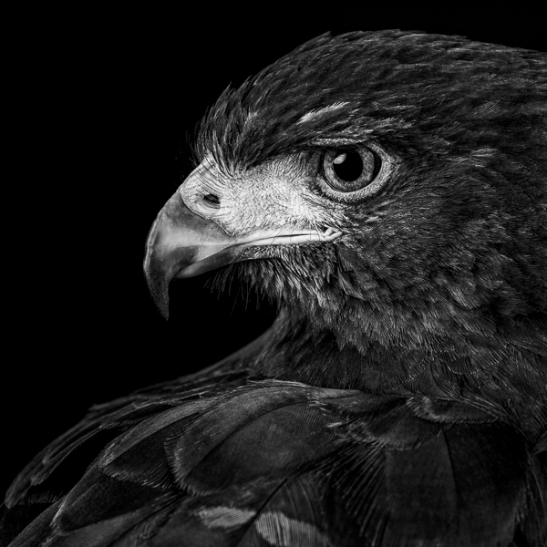 RPTR_006  Profile of a Harris Hawk  by fine art photographer Paul Coghlin. Black and white, limited edition photographic prints of a Harris Hawk.