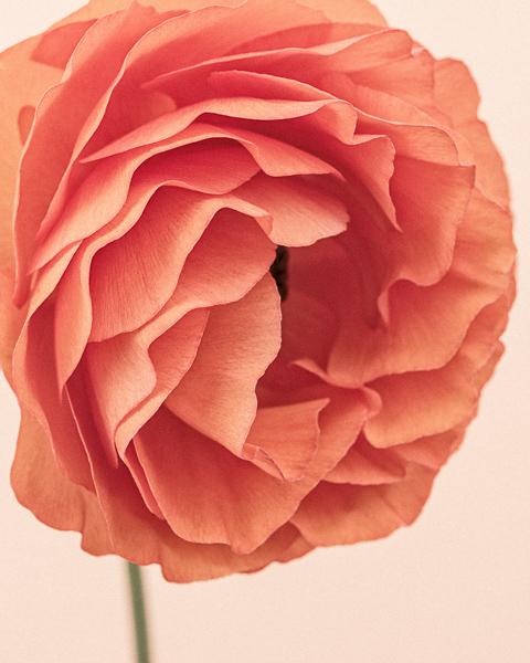CF41 Orange Ranunculus III_600px, web, large_© Paul J Coghlin.jpg