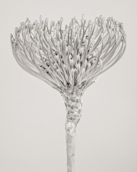 BTNC_008 Leucospermum cordifolium (Protea) II_600px, web, large_© Paul J Coghlin.jpg