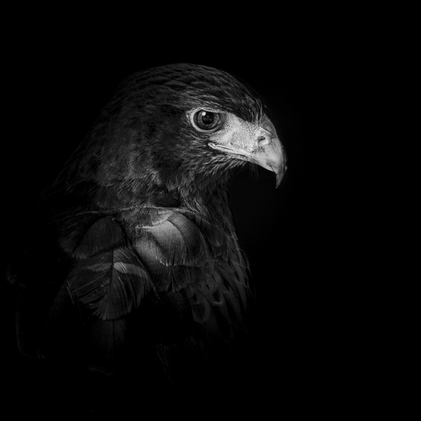 Black and white photograph of a Harris Hawk by award-winning photographer Paul Coghlin FBIPP.