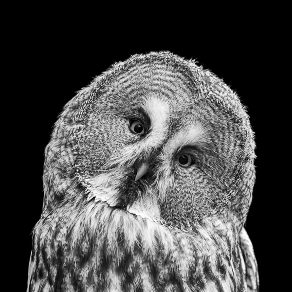 Black and white photograph of a Great Grey Owl. Limited edition print of an owl by award-winning photographer Paul Coghlin FBIPP.
