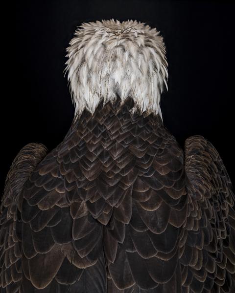 Colour portrait of a bald eagle. Fine art photographic print by Paul Coghlin FBIPP.