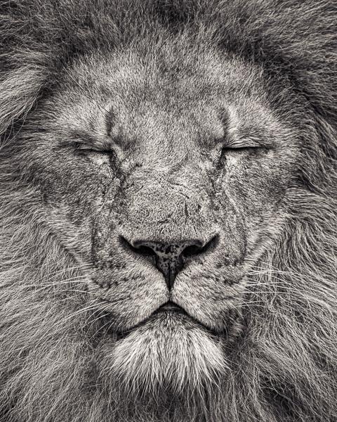 Peace - Portrait of an African Lion