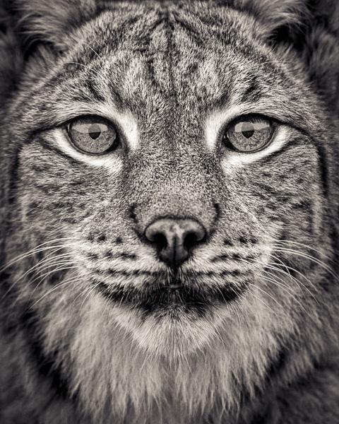 Portrait of a Eurasian Lynx