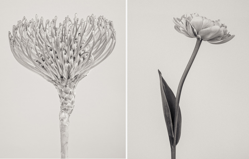 Limited edition fine art prints, black and white floral studies in contempory classic style.