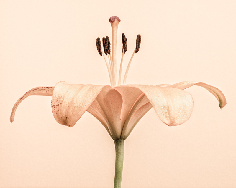 CF004 Lily Unfurled. Limited edition photographic print by Paul Coghlin