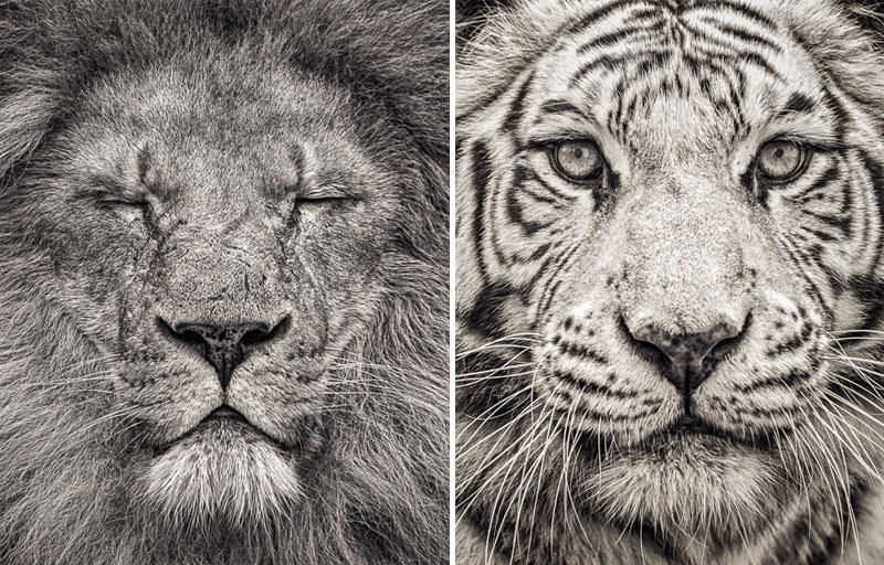 Limited edition Black and white prints of a tiger and White Bengal Tiger by fine art photographer Paul Coghlin