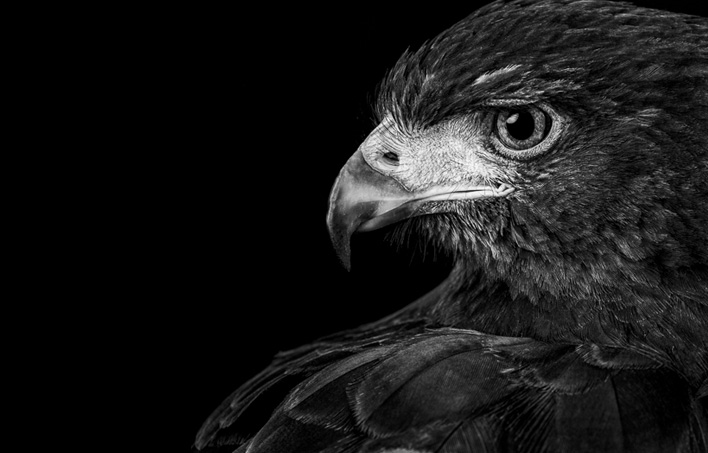 Limited edition black and white print of a Harris Hawk by fine art photographer Paul Coghlin.