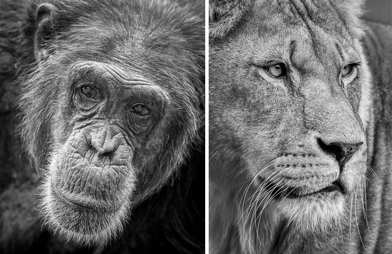 A black and white print of a chimp and a lioness. This limited edition print is part of the Behind the Eyes series of animal portraits.