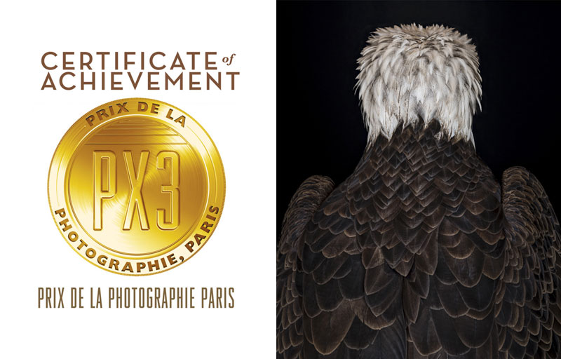 He Turned His Back. Colour portrait of a bald eagle and winner of the PX3 Gold Award.
