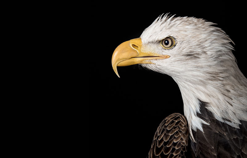 Limited edition print of a profile of a bald Eagle in colour by fine art photographer Paul Coghlin.