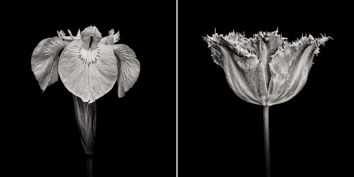 qBlack and white botanical prints of an iris and a tulip by fine art photographer Paul Coghlin