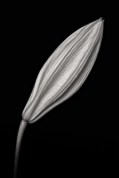 Lilies, Study I, Stargazer