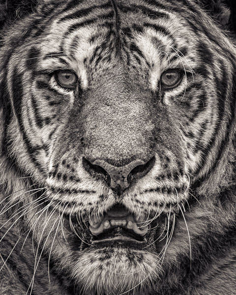 Black and white portrait of Sumatran Tiger by fine art photographer Paul Coghlin.