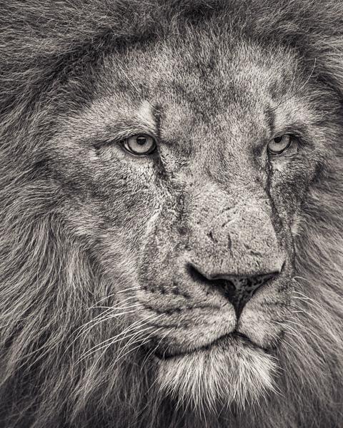 Portrait of African Lion Looking Away