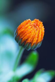 Pot marigold  Calendula officinalis