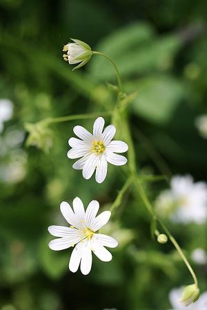 Greater stitchwort Stellairia holostea