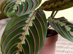 Prayer plant  Maranta leuconeura