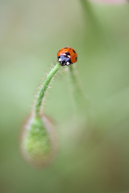 ladybird poppy_MG_8201.jpg