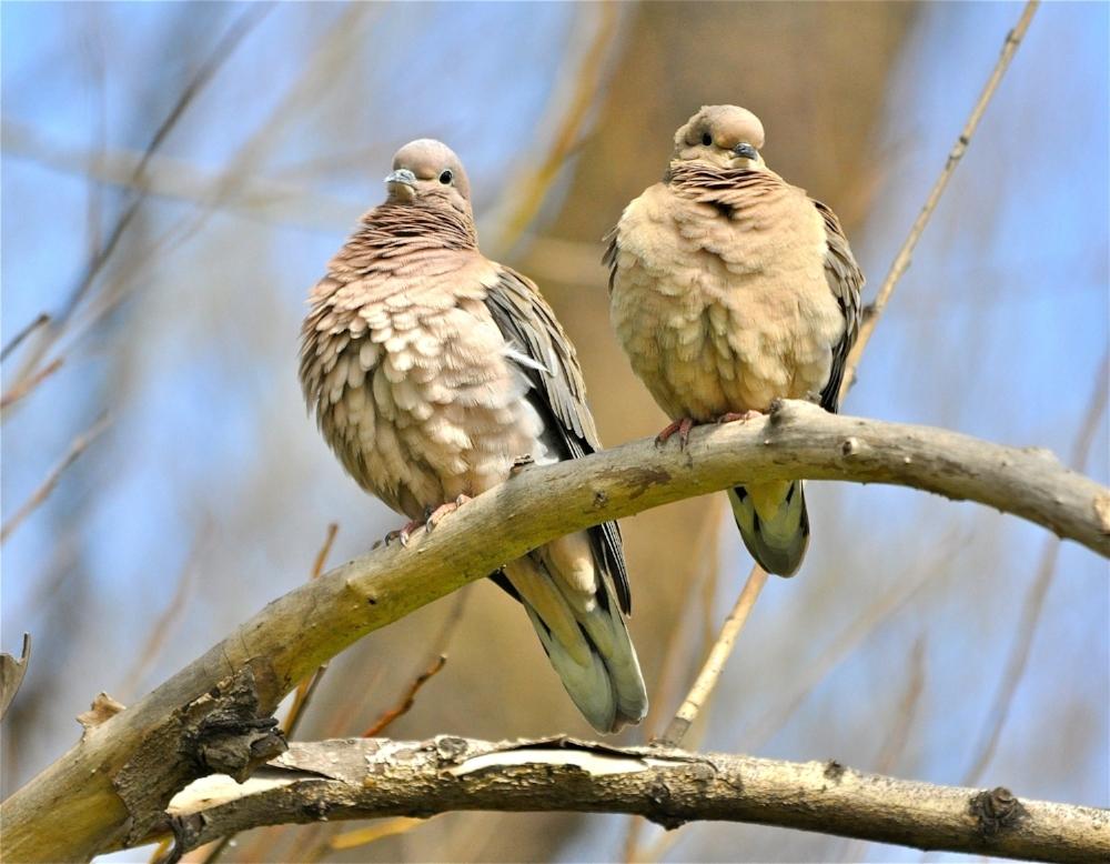 Eared Doves