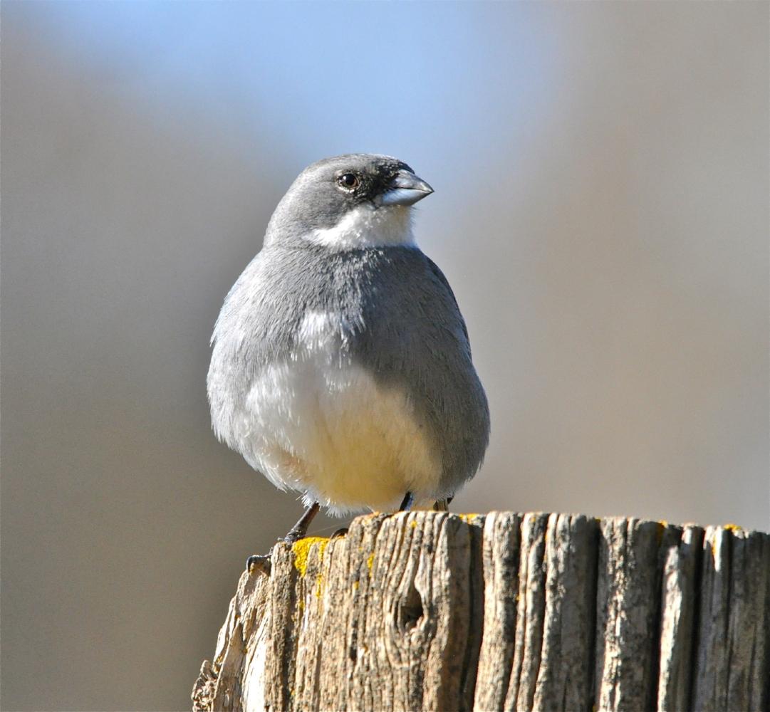 Common Diuca Finch