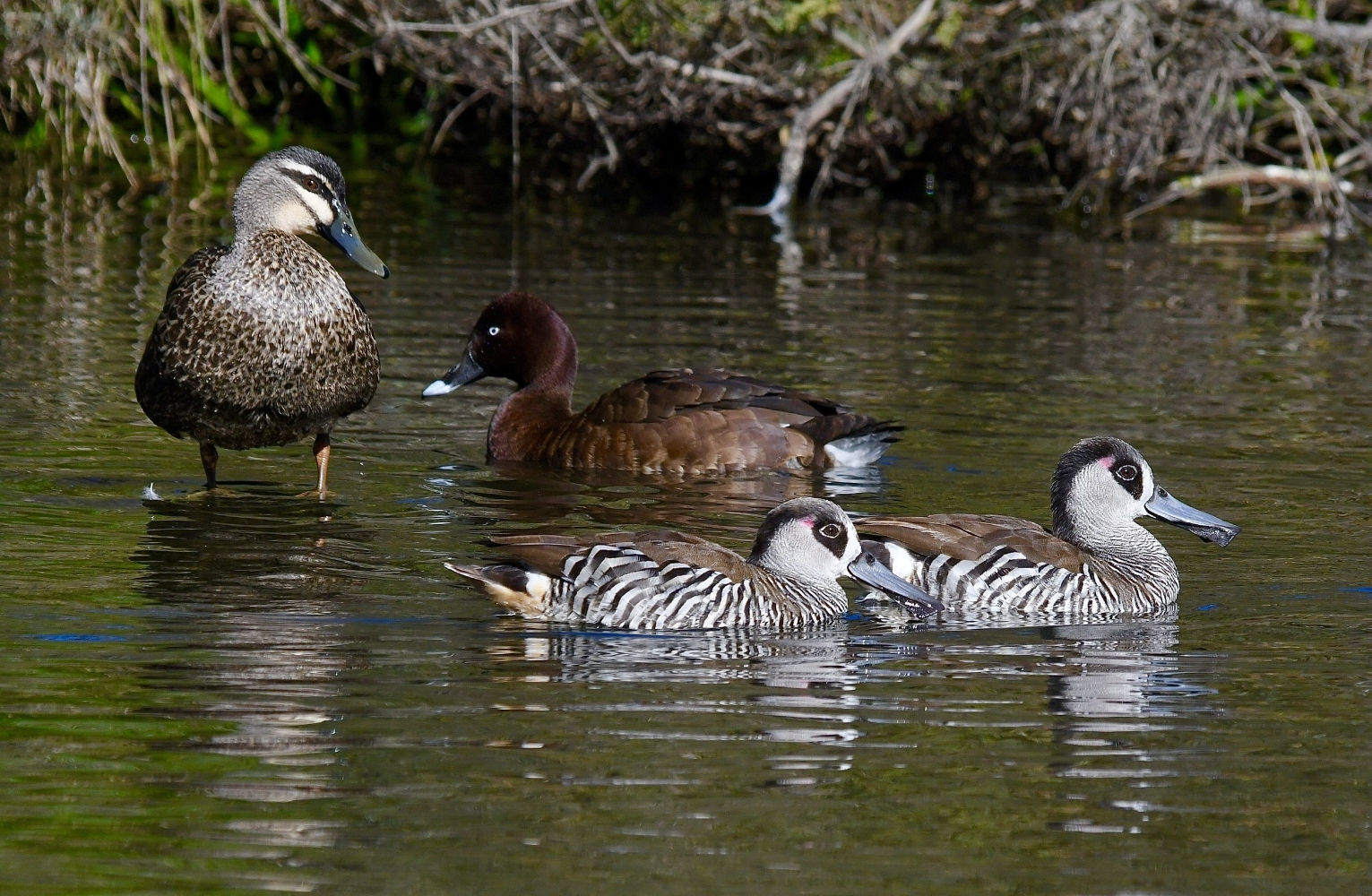 Pacific Black Duck, Hardhead and Pink-eared Ducks