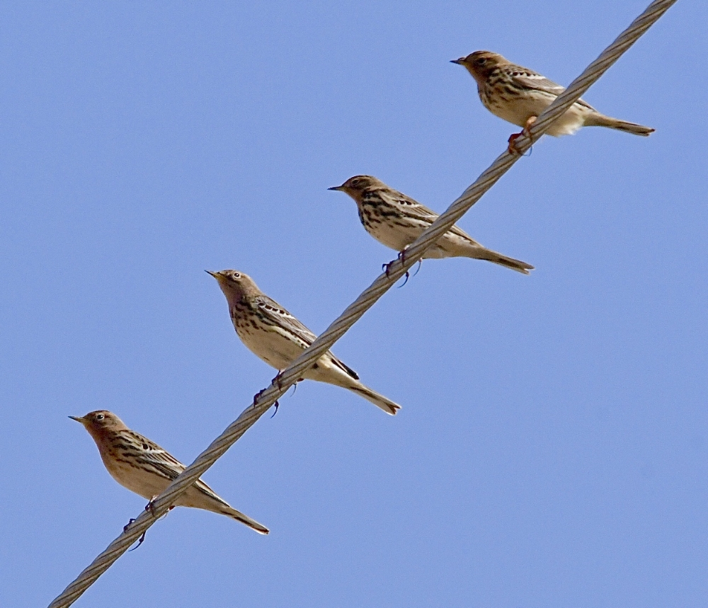 Red Throated Pipits