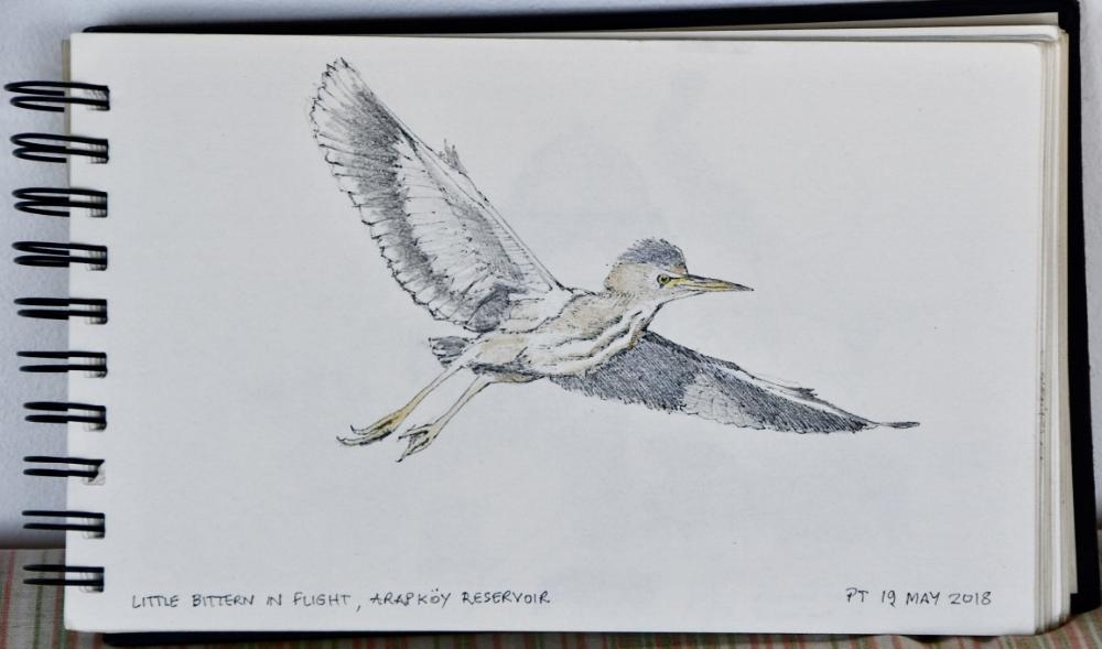 Little Bittern in flight, Arapkoy Reservoir