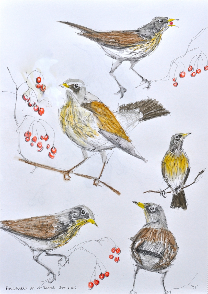 Fieldfare sketches
