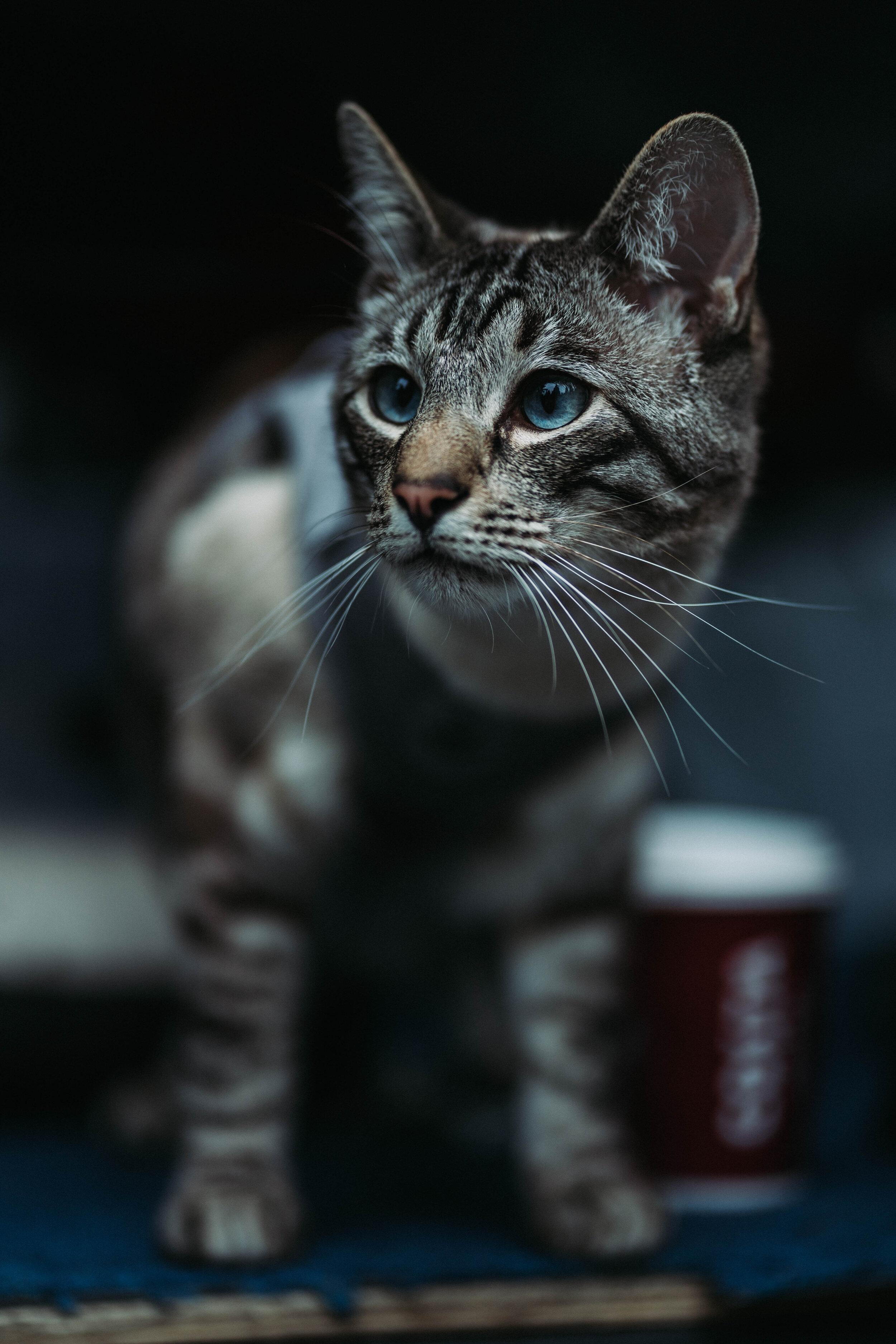 Raga cat