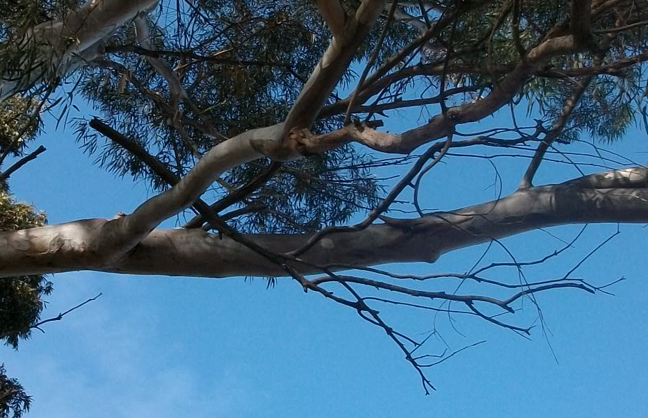 Widowmaker branches like the one above hang from or sit on larger healthier branches.   Adrian J. Hunter ,  Gumtree widowmaker from side cropped ,  CC BY-SA 3.0