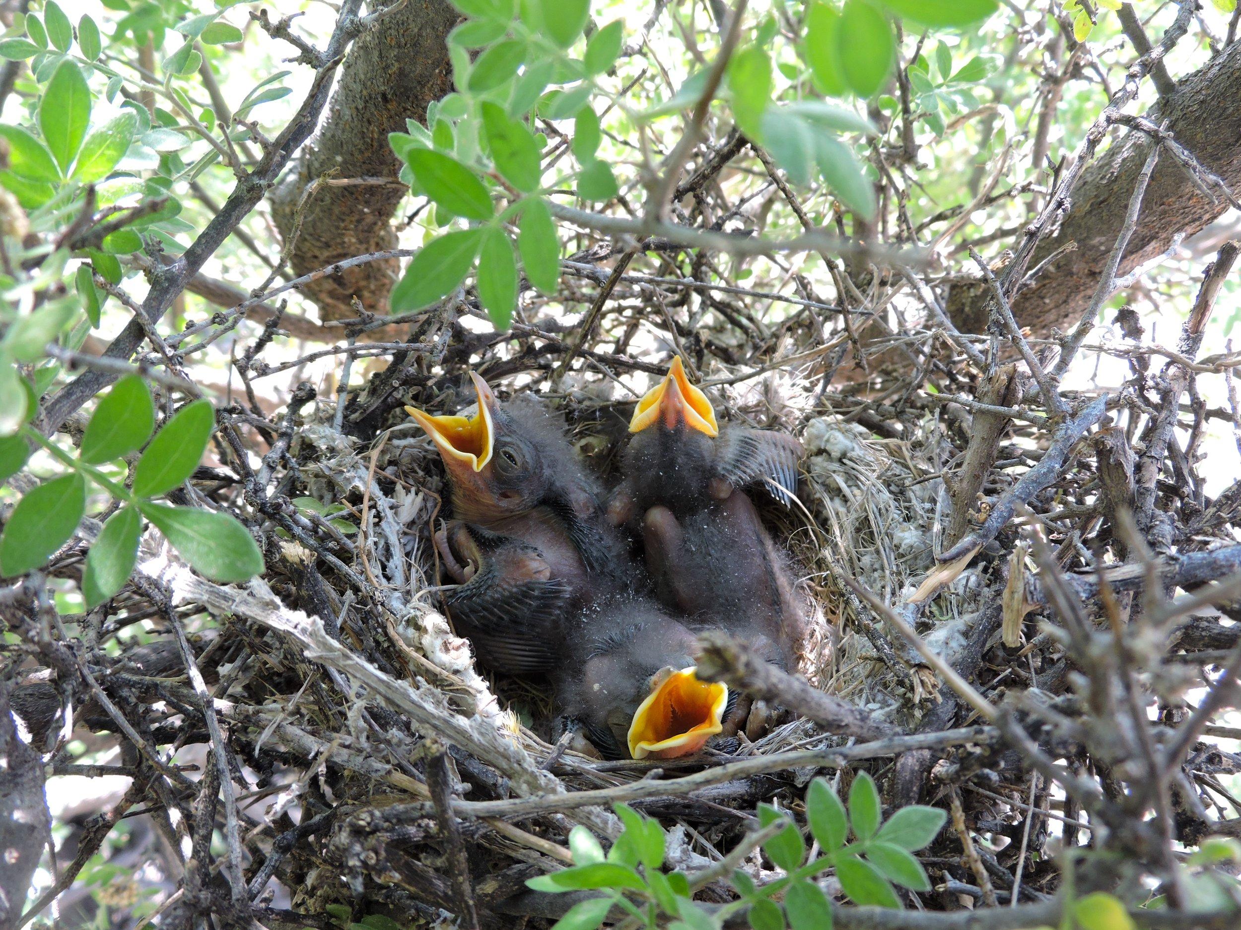 Chicks in nest.