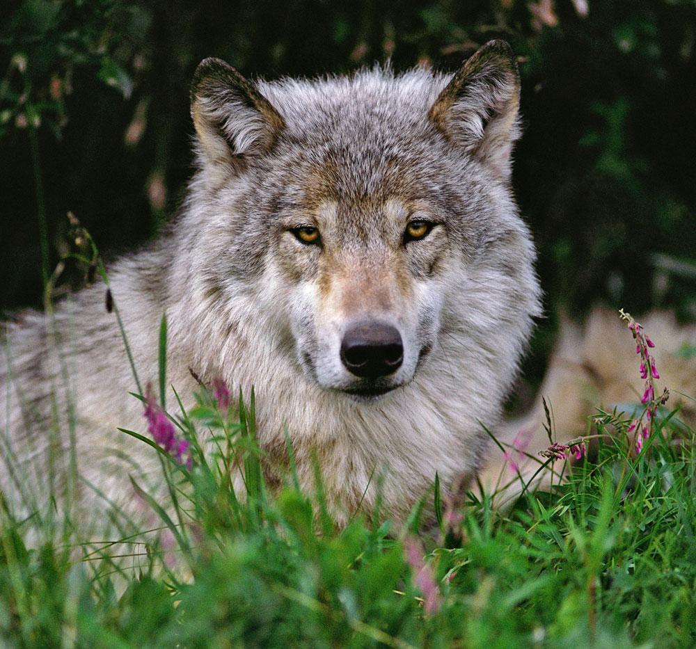 Denali Wolf, photo by Johnny Johnson