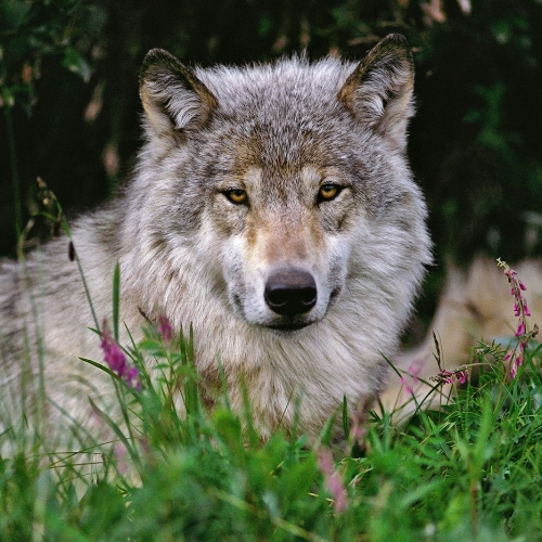Denali Park Wolf, photo courtesy of Johnny Johnson.
