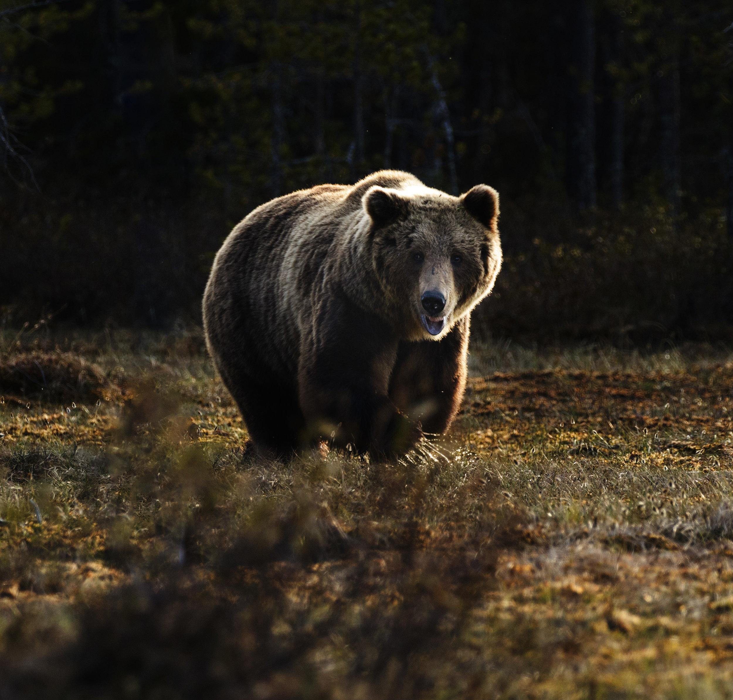 bear in tundra alaska wildlife alliance