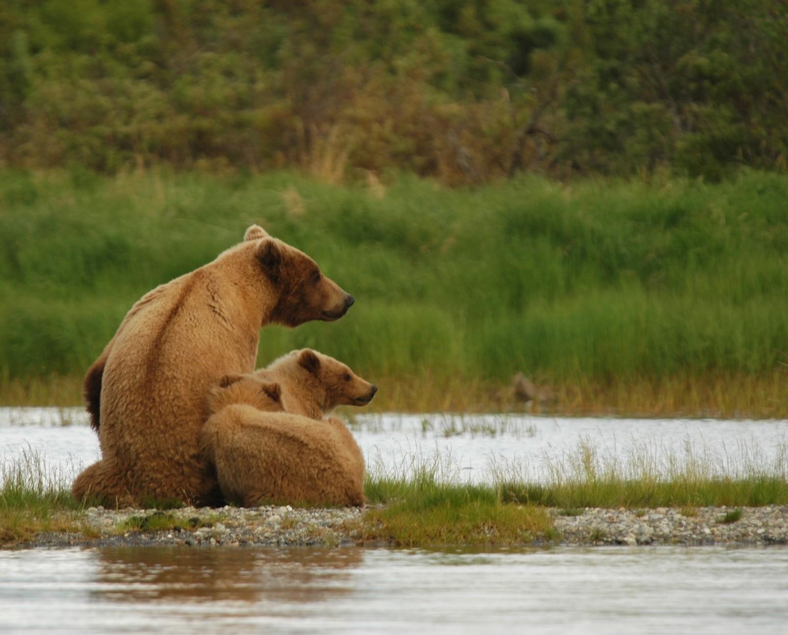 bears alaska wildlife alliance.jpg
