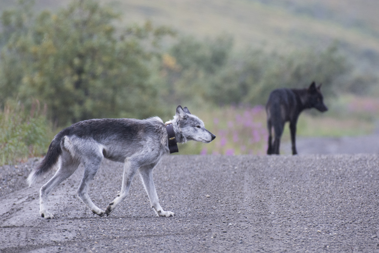 A collared wolf crosses the road in Denali National Park