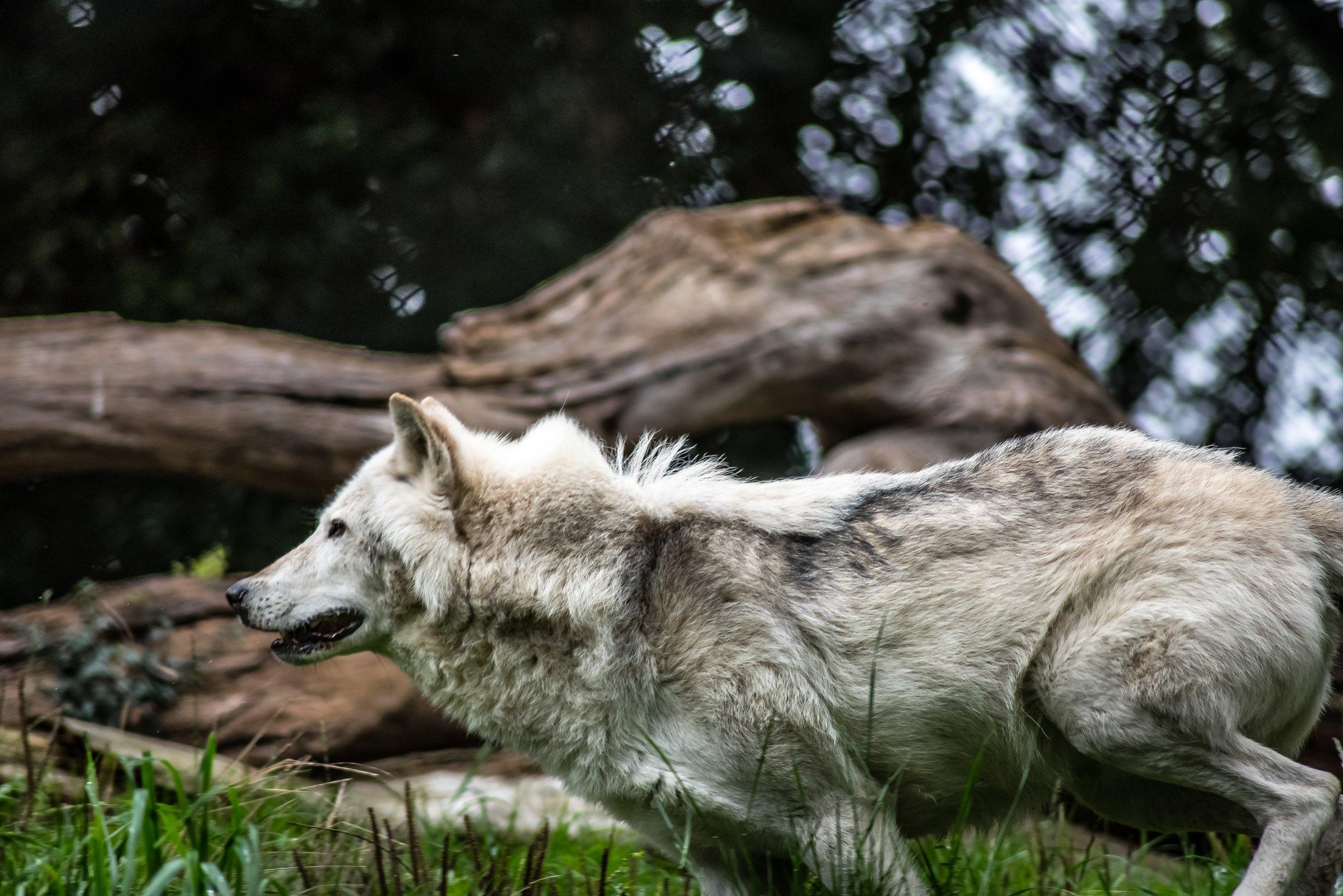 animal-canine-wild-animal-69350.jpg