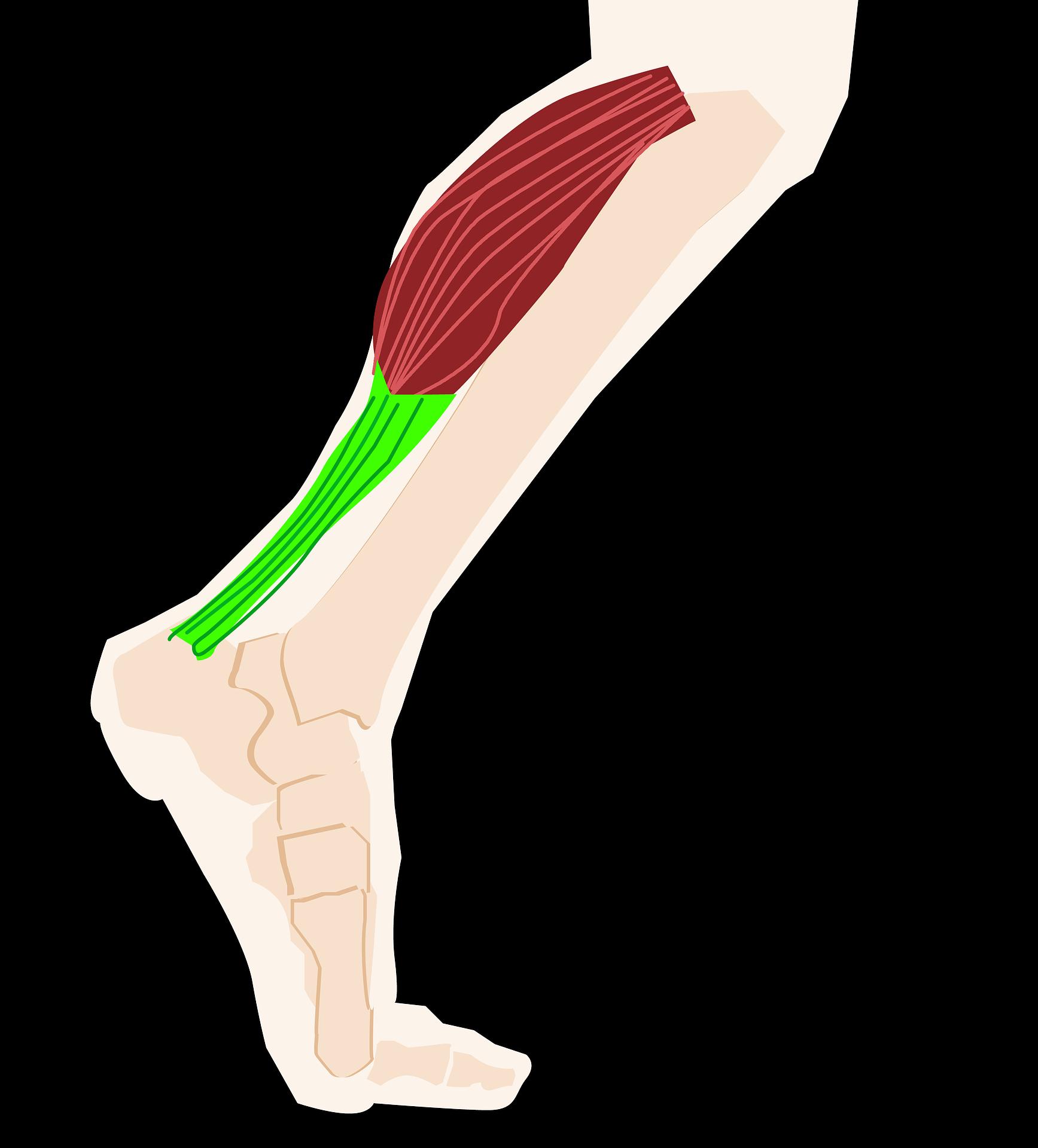 walking-health-fitness-calf.png
