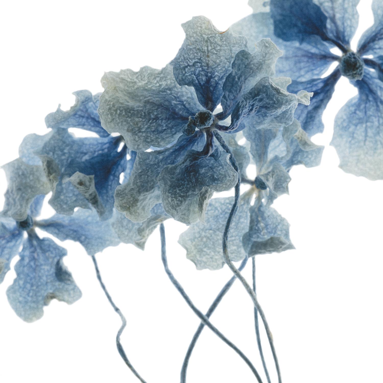 Hydrangea study #5