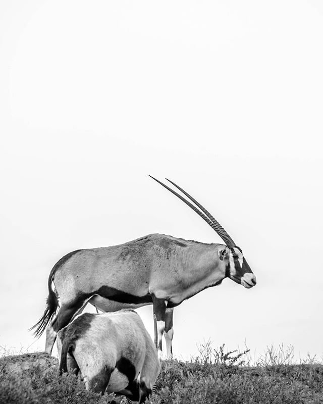 In my opinion, the Gemsbok (Oryx gazella) is one of the world's most handsome antelope species. It is built like a horse, striped like a race car, has two incredibly long sharp horns like the one on a unicorn's head, and its face is painted with a stunning black and white pattern. But its appearance is not the only thing that makes this creature special. The Gemsbok (also known as an Oryx) boasts a suite of impressive adaptations that allow it to live in some of the driest places on earth, specifically the Kalahari and Namib Deserts of Southern Africa. . . . . . . #travel4wildlife #greatnorthcollective #gemsbok #theoutbound #theoutboundcollective #wildernessculture #modernoutdoorswoman #modernoutdoorsman #outsideculture #stayandwander #keepitwild #adventurethatislife #getoutstayoutexplore #getoutstayout #in2nature #rei440project #neverstopexploring #getoutside #exploremore #exploremoreoutdoors #nationalpark #lastbestplace #forgeoverland #xplore #optoutside #optoutsideeveryday #everytrailconnects #mammal