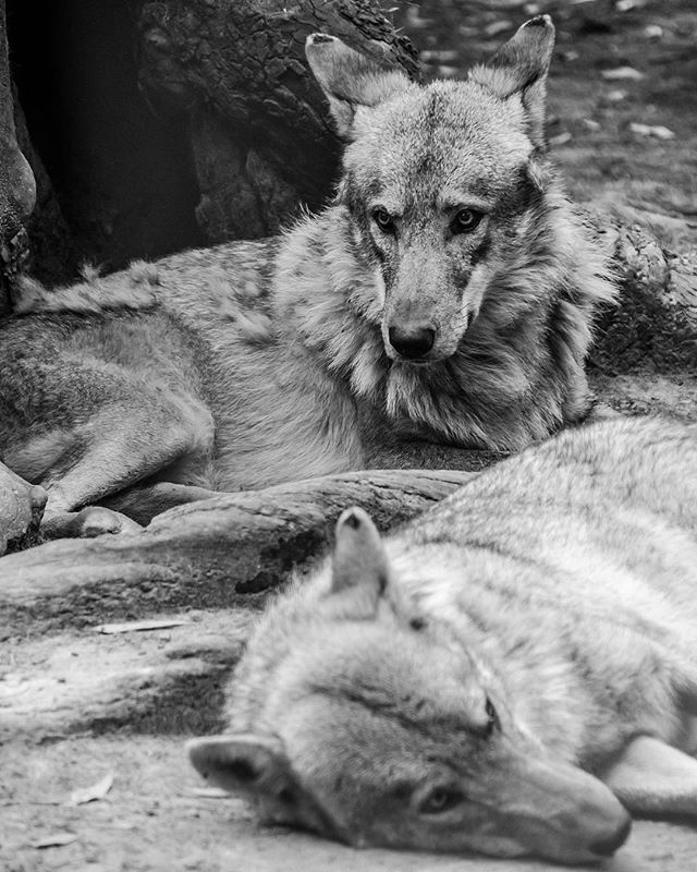 There are very few things as hauntingly beautiful as hearing a pack of wolves howling.  It starts with one Alpha and echoes into great distances. Wolf culture is absolutely fascinating.  The social hierarchy of a pack is what maintains order, dictating who makes decisions, who mates with whom, who eats first and who eats last. Alpha males and alpha females mate. Omega males and omega females mate. There is a pecking order and clear boundaries, and beware any omega that dares to challenge an alpha.. . . . #greatnorthcollective #theoutbound #theoutboundcollective #wildernessculture #modernoutdoorswoman #modernoutdoorsman #outsideculture #stayandwander #keepitwild #adventurethatislife #getoutstayoutexplore #getoutstayout #in2nature #rei440project #neverstopexploring #getoutside #exploremore #exploremoreoutdoors #nationalpark #lastbestplace #forgeoverland #xplore #optoutside #optoutsideeveryday #everytrailconnects #mammal #wolfsanctuary #africa #wolves